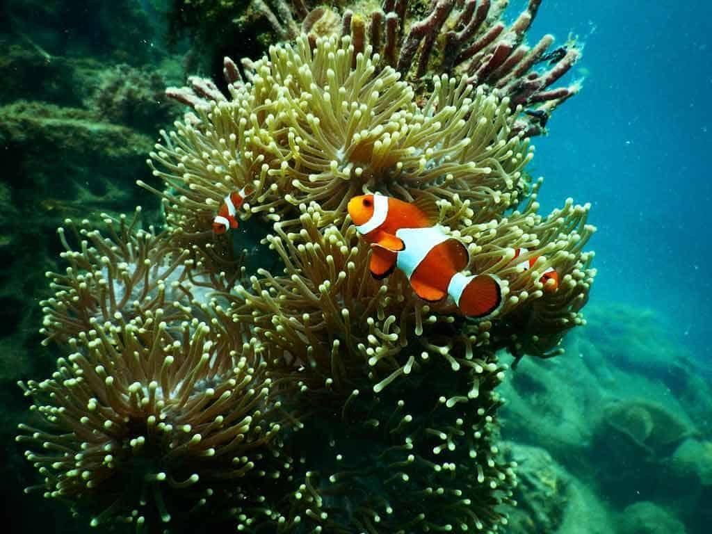 Clown Fish Great Barrier Reef