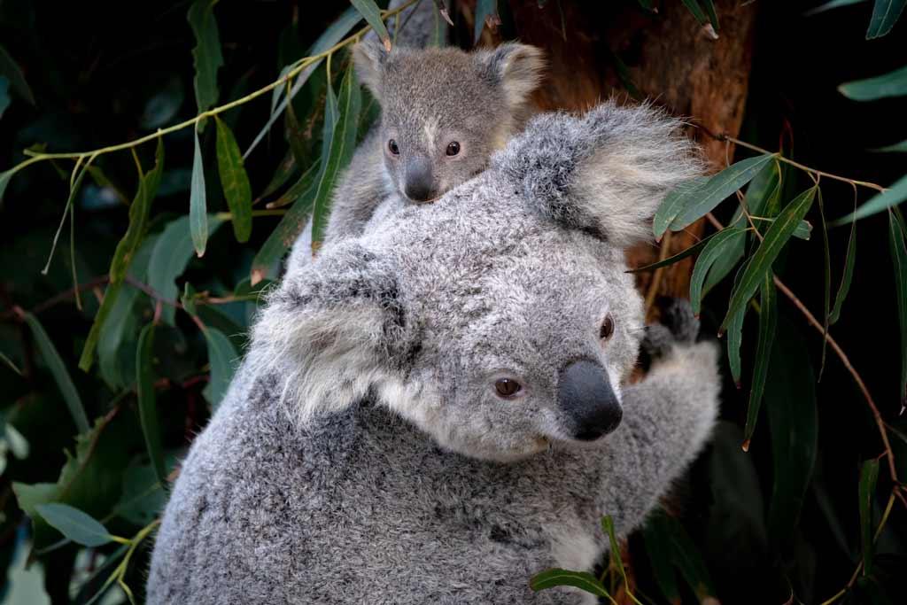 Koala Joey Sydney To Brisbane Road Trip