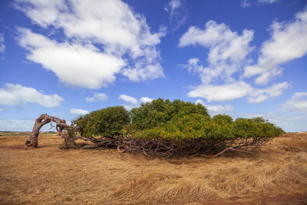 Leaning Tree Geraldton