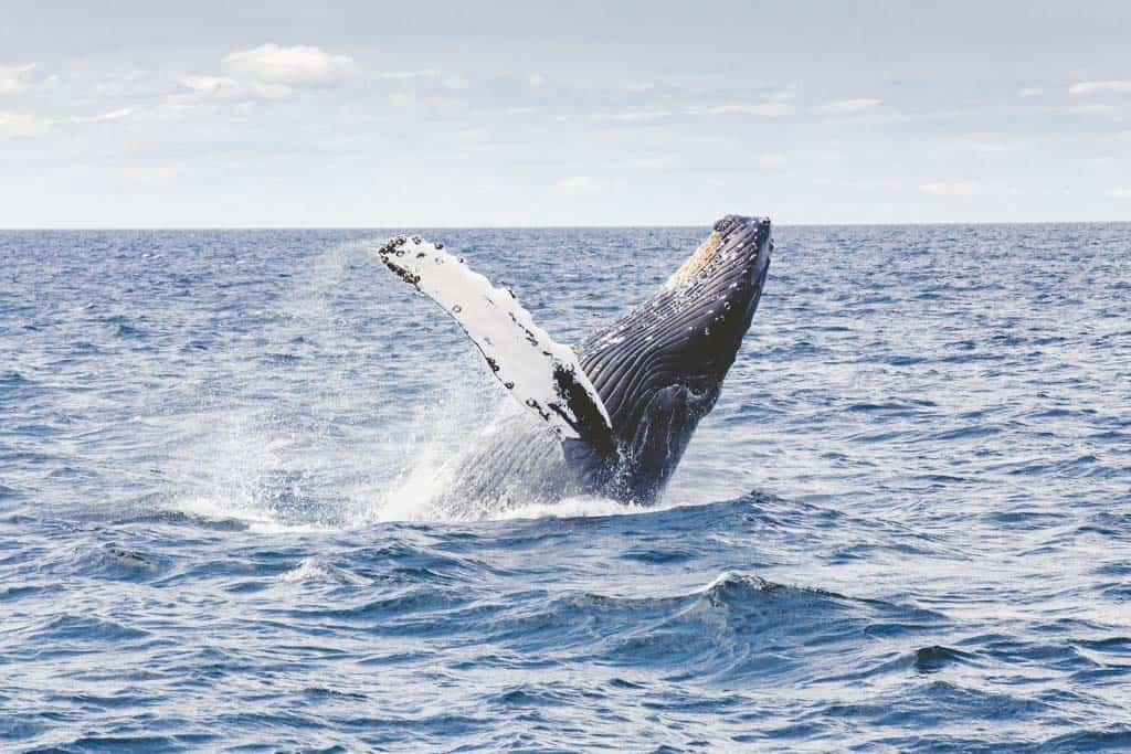 Don't Miss Humpback Whale Season In Western Australia