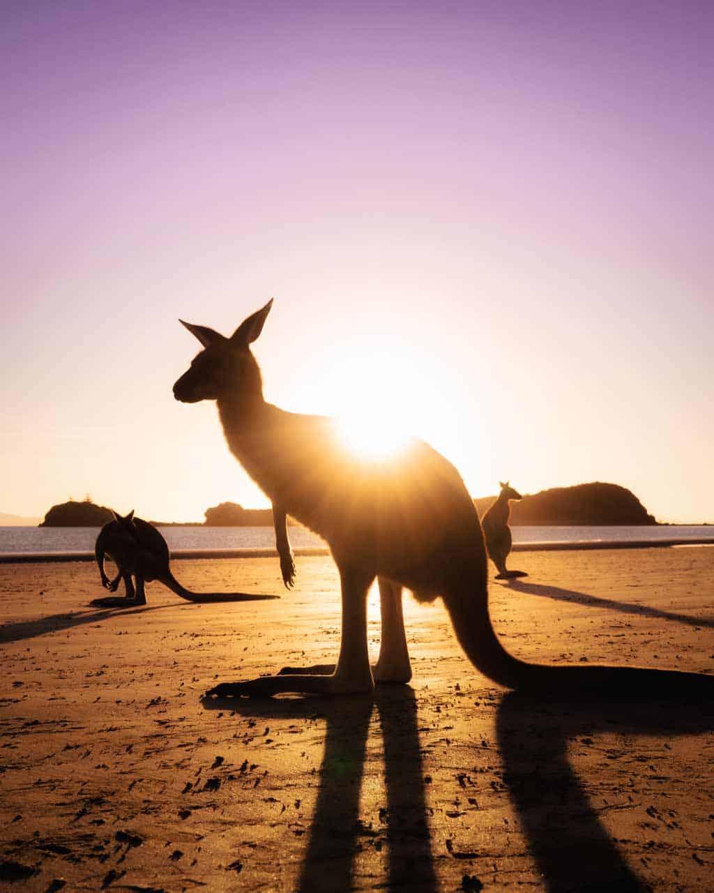 Kangaroos Sunrise