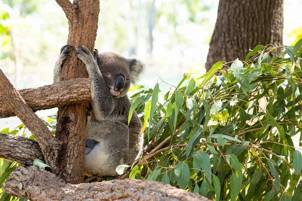 Koala Rockhampton Zoo