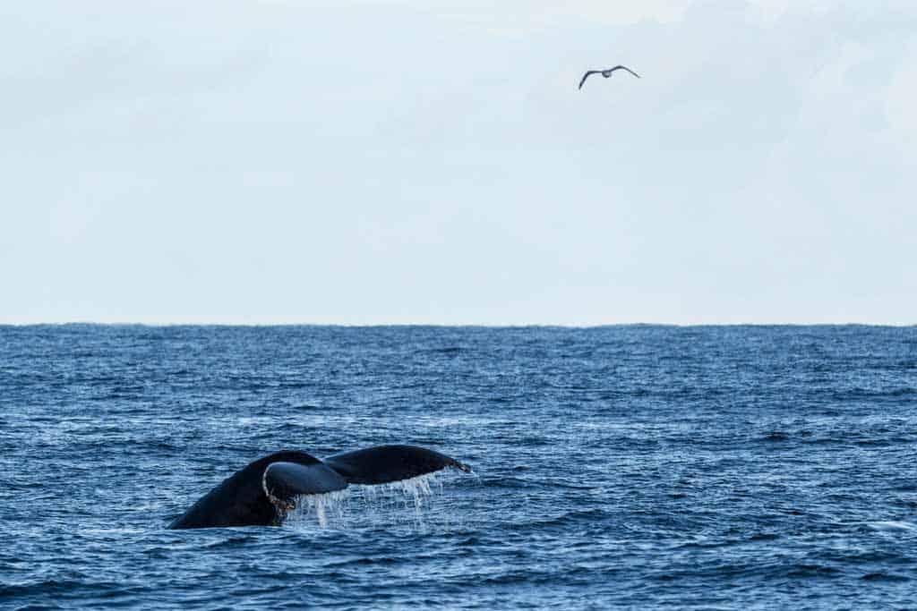 Humpback Whale Port Stephens