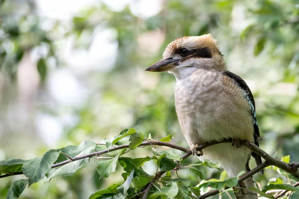 A Kookaburra In The Forest