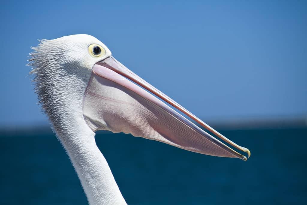 Pelican Albany