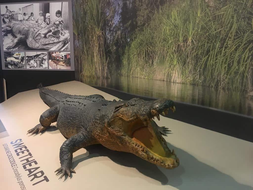 Sweetheart Crocodile In Museum