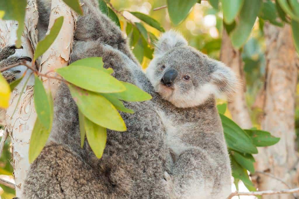 Koala In Tree With Baby Magnetic Island 4