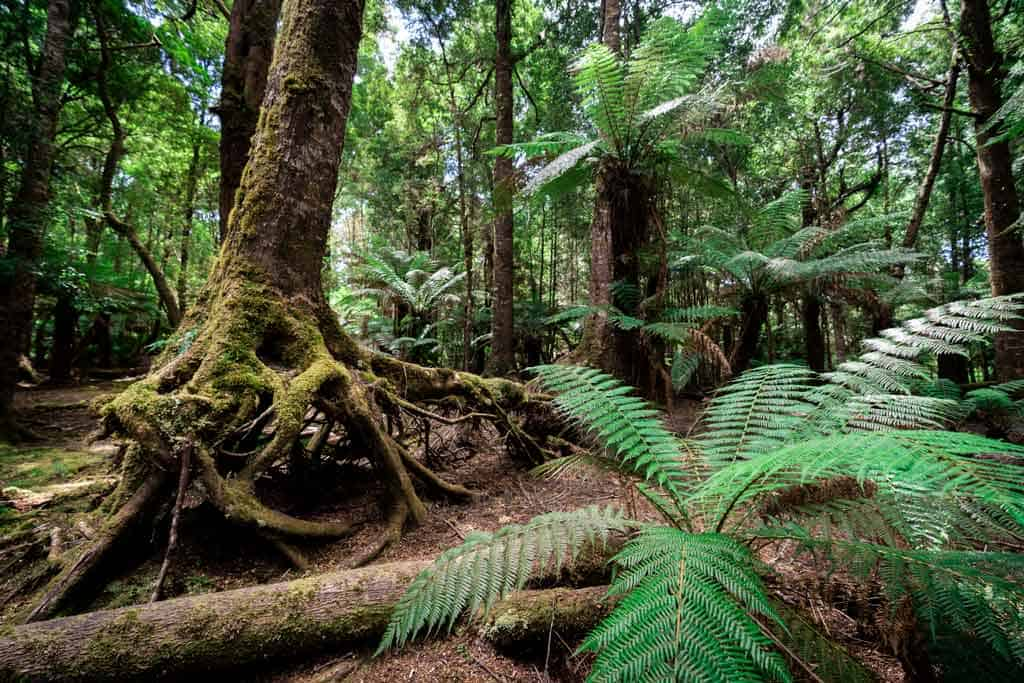 Tarkine Rainforest
