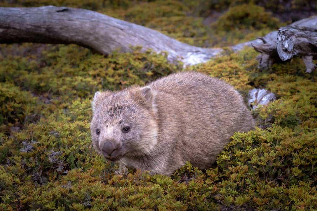Wombat Windermere