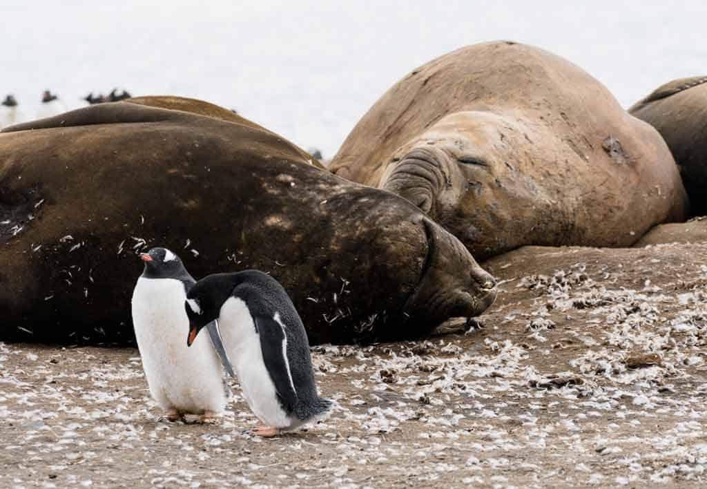 Elephant Seals And Gentoo Penguins
