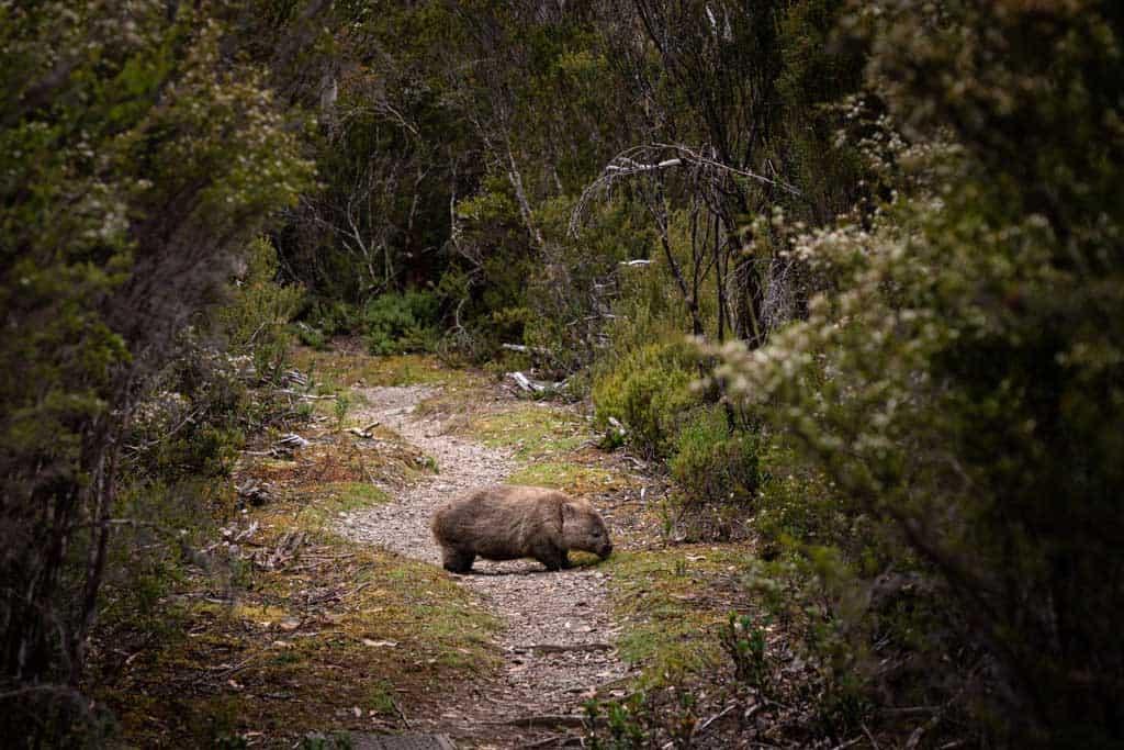 Wombat On Track