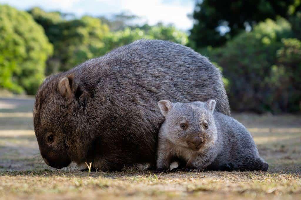 Baby Wombat On Maria Island