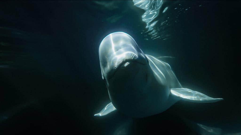 Beluga Whale Churchill