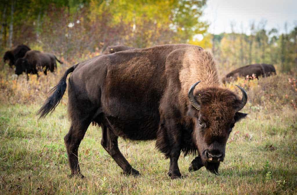 Plains Bison Manitoba