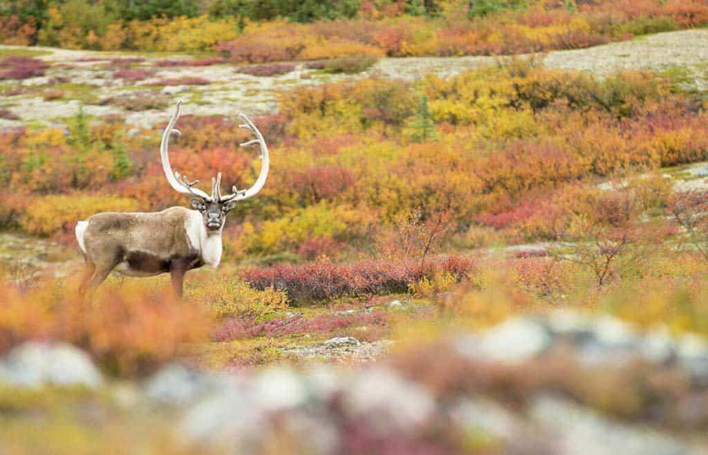 Caribou Migration Arctic
