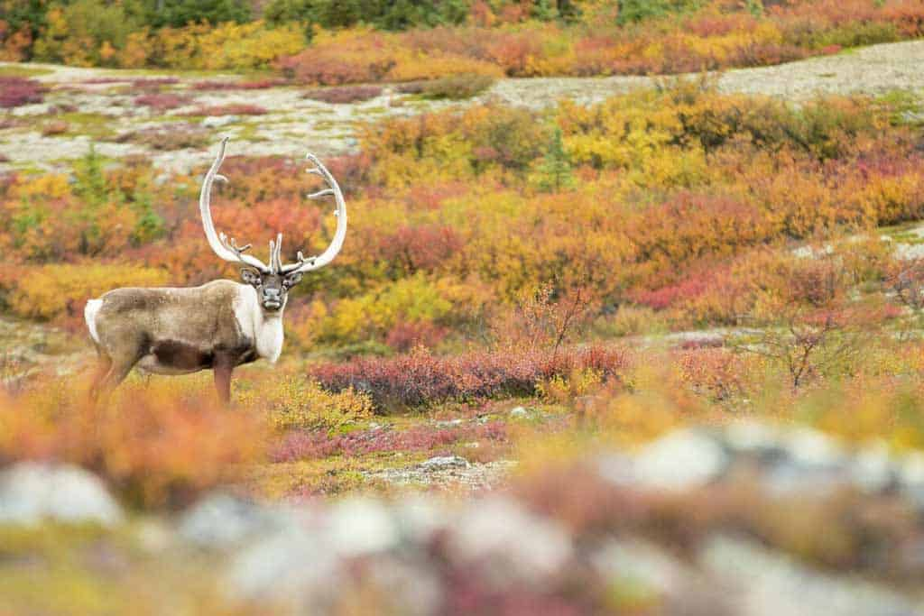 Caribou Migration Weber Arctic