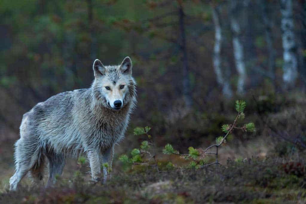 Gray Wolf Golden Bc