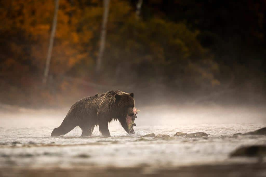 Grizzly Bear Wildlife Experiences In Canada