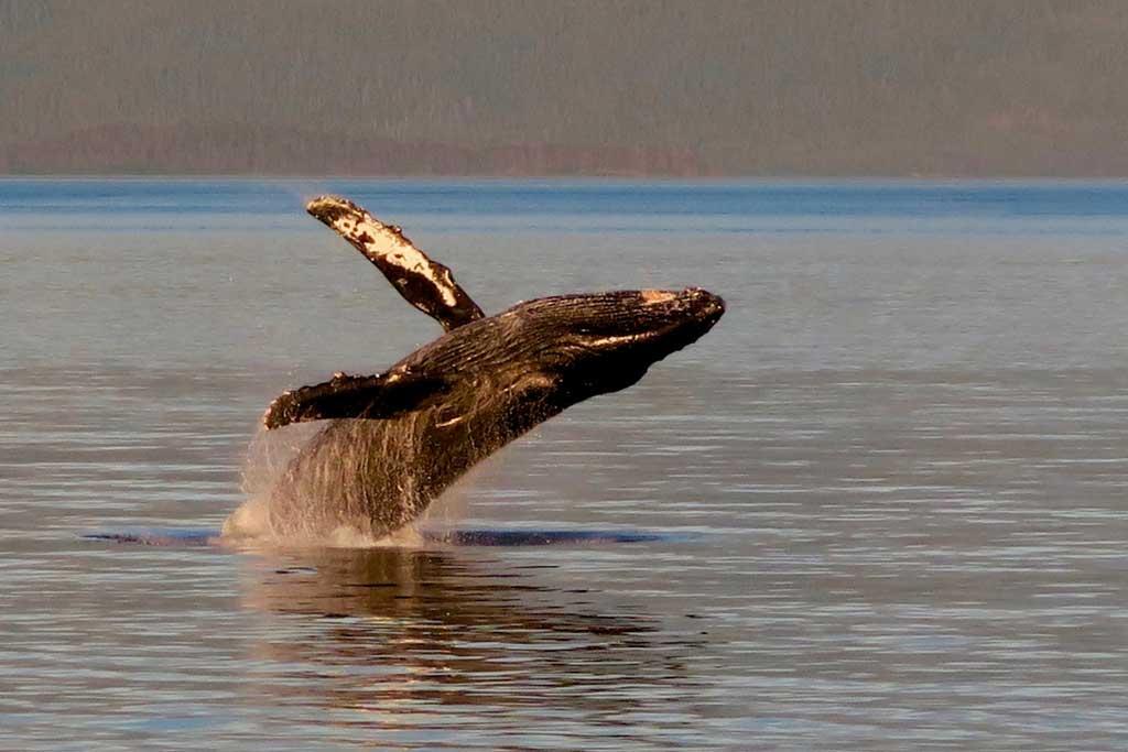 Nova Scotia Humpback Whale Watching