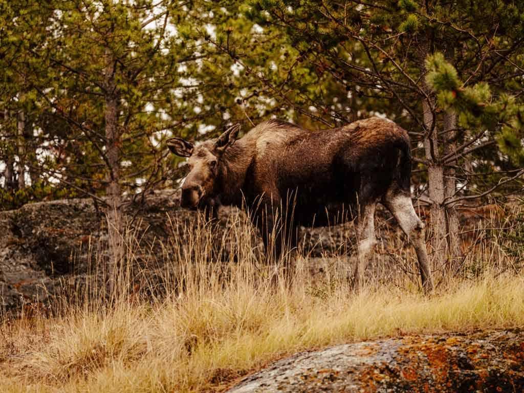 Moose Safari Ontario