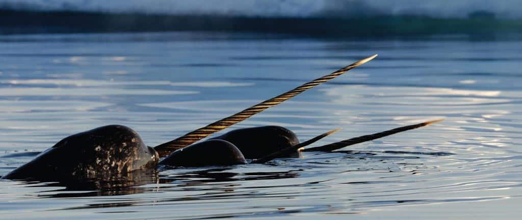 Narwhals Floe Edge Arctic Kingdom