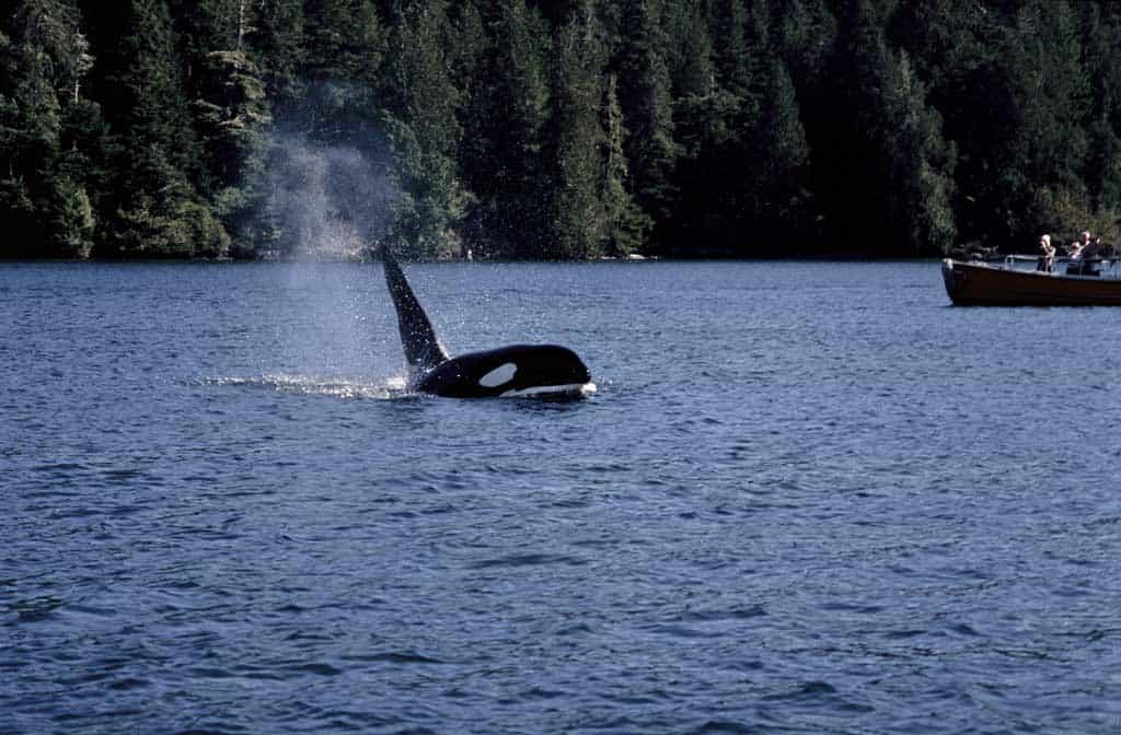 Orca In Johnstone Strait