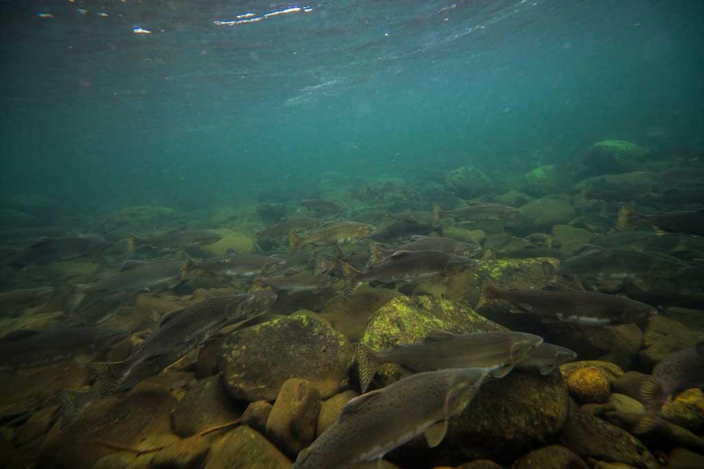 Snorkelling Salmon Run Campbell River